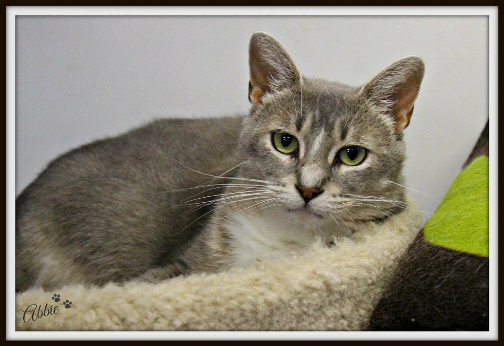 Abbie This young female cat Grey Tabby Cat With Blue Eyes